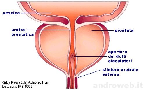 prostata ipertrofia lobo medios